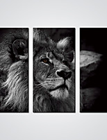 Stretched 3 Pieces Wall Art Black and White Lion Pictures Prints  on Canvas for  Wall Decoration Ready to Hang