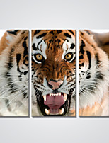 Canvas Print Tiger Head Contemporary Wall Art for Office  Ready to Hang 30x60cmx3pcs